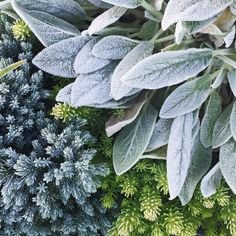 gardens perennials Plant Combinations: How to make unforgettable plant pairings Plant combination with contrasting texture Moon Garden, Blue Garden, Colorful Garden, Shade Garden, Blue Star Juniper, Shrubs For Sale, Silver Plant, Plant Texture, Purple Plants