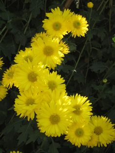 Golden Yellow Mums Amazing Flowers, Yellow Flowers, Spring Flowers, Wild Flowers, Beautiful Flowers, Blooming Flowers, Paper Flowers, Succulent Terrarium, Different Flowers
