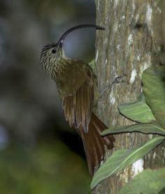 Foto arapaçu-de-bico-torto (Campylorhamphus falcularius) por Roberto O. Silva