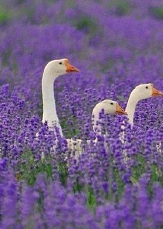 Stonewell Farm are producers of small batch lavender products handmade on site using lavender grown on our farm near Toronto. Join us for Lavender related workshops. Farm Animals, Animals And Pets, Cute Animals, Wild Animals, Beautiful Birds, Animals Beautiful, Beautiful Gorgeous, Lavender Fields, Lavander