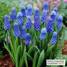 Muscari aucheri Dark Eyes, Grape Hyacinth