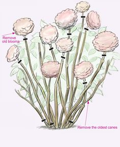 Pruning Hydrangeas - Fine Gardening Article