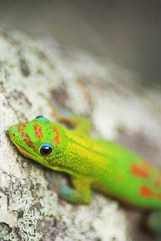 This guy is better looking than the Geico Gecko. Taken on the Big Island of Hawaii Big Island Hawaii, Hawaii Beach, Tropical, Reptiles And Amphibians, Hawaiian Islands, Cute Animals, Wildlife, Creatures, Adventure