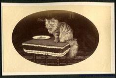 Portrait of A Tabby Cat Longhair 1870 80s CDV Size Albumen Photograph   eBay