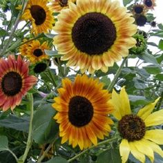 Ornamental Sunflower Mix Seed