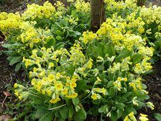Primula elatior - Oxlips