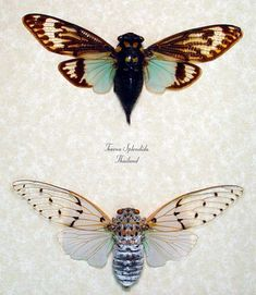 Ayuthia Spectabilis & Tosena Splendida 2 Cicada Set Conservation Display
