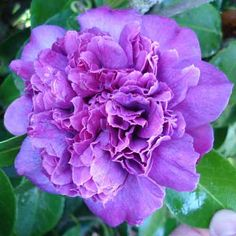 Violet Bouquet - stunning colour enhanced with aluminium in the soil. Japonica at Wairere Nursery