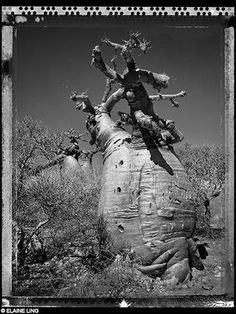 Elaine Ling - Baobab, Tree of Generation Black And White Landscape, Travel Route, The Little Prince, Places, Photography, Baobab Tree, Design, Roots, Trees