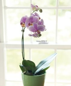 Why Won't My Orchid Rebloom Key steps to orchid care and getting them to rebloom. Orchid Roots, Moth Orchid, Orchid Plants, Orchid Care, Fine Gardening, Container Gardening, Succulent Containers, Container Flowers, Container Plants