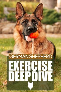 We're talking about the exercise needs of one of the most well-known breeds out there and has been excelling in public working roles for years; I'm talking, of course, about the striking German Shepherd. If you have one of these impressive beauties or are thinking about getting one, you won't want to miss today's video. Caucasian Shepherd Dog, German Shepherd Puppies, German Shepherds, Australian Shepherd, German Dog Breeds, Large Dog Breeds, Large Dogs, Best Guard Dog Breeds, Best Guard Dogs