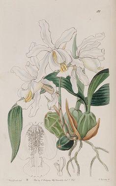 Edwards's botanical register.. London :James Ridgway,1829-1847..
