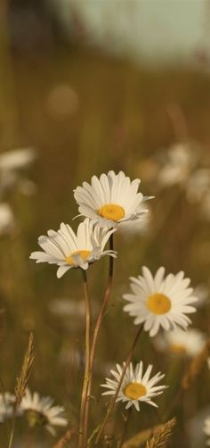 White daisies. #Field, #flowers, #daisies, #nature, #summer, #meadow