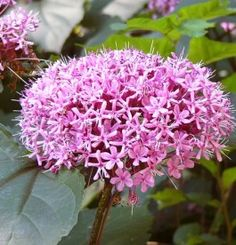 Clerodendrum bungei Gardening Tips, Plants, Gardens, Flower, Accessories, Green Houses, Small Trees, Outdoor Gardens, Plant