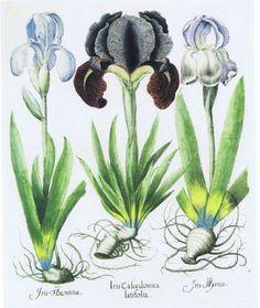 Iris florentina, Iris Calcedonica latifolia, Iris myrica