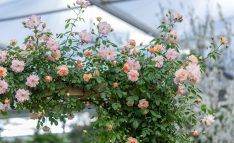 This year's Chelsea Flower Show rose garden features an impressive pergola walkway, offset by soft rose hedges. Rose Hedge, Chelsea Flower Show 2018, David Austin Roses, Garden Features, Hedges, Exhibit, Pergola, Gallery, Flowers