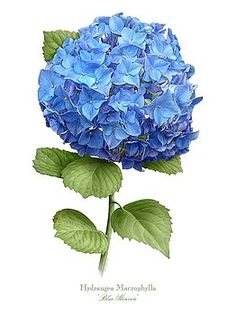 Hydrangea Blue Heaven Art Print by Artellus Artworks. All prints are professionally printed, packaged, and shipped within 3 - 4 business days. Choose from multiple sizes and hundreds of frame and mat options. Art Floral, Deco Floral, Hortensia Hydrangea, Hydrangea Flower, Hydrangeas, Hydrangea Macrophylla, Botanical Flowers, Botanical Prints, Watercolor Flowers