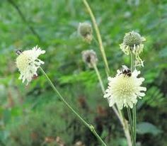 Cephalaria species. I collected some of these plants from the wild including one with a mauve flower. They have self seeded prolifically. Interesting plant that flowers over a long period.
