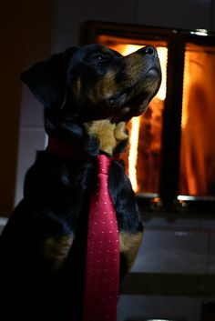 Beautiful #Rotty