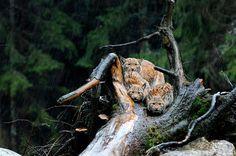 Mais où sont les lynx? Cette femelle et ses deux petits, serrés les uns contre les autres pour se protéger de la pluie qui tombe sur la forêt allemande, ont sans doute plus de chance que leurs congénères des Vosges. Selon l'Office national de la chasse et de la faune sauvage (ONCFS) et plusieurs associations, ce grand félin d'Europe, réintroduit il y a une trentaine d'années dans la région, serait à nouveau en voie de disparition. Braconnage? Mauvaise adaptation de l'espèce à de