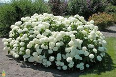 Try mixing the Annabelle Hydrangea with the Pennymac or Nikko Blue Hydrangea to provide great color combinations. Plants, Shrubs, Annabelle Hydrangea, Hydrangea Arborescens, Flowering Shrubs, Hydrangea Not Blooming, Low Maintenance Garden, White Gardens, Hydrangeas For Sale