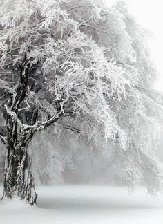 Beautiful Tree in the Snow