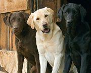 LABRADOR RETRIEVER - Famosa por sua simpatia, a raça Labrador Retriever, ou somente Labrador como é mais conhecida é originária das regiões geladas da Groenlândia, mas foi no Canadá que ele se consagrou como um excelente cão de água. É uma raça muito dócil, de temperamento alegre.  Veja mais em: http://wikicao.com.br/Labrador_Retriever