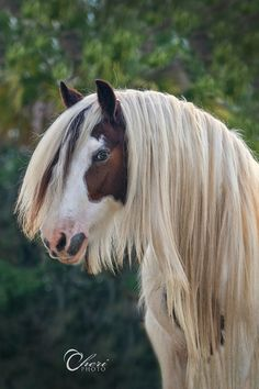 Gypsy Vanner draft horse. His mane looks like it went to a beauty saloon and had a hair straightener! Beautiful thick mane and a pretty face!