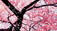 Animated gif discovered by sunshine. Find images and videos about pink, gif and flowers on We Heart It - the app to get lost in what you love. Cherry Blossom Tree, Blossom Trees, Cherry Tree, Pink Blossom, Flowers Gif, Pink Flowers, Pink Trees, Flower Petals, Pink Dogwood