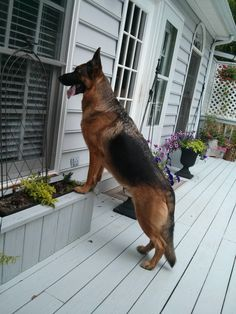 hey r u starting dinner without me come on let me in german shepherd dog looking to get invited to dinner on christmas I say let him in www.caapemaydogs.com