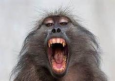 Chacma baboon - Bing images