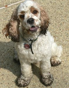 """cocker spaniel """"I know nothing about that hole in the yard"""" She looks like my Zoey after her daily run in the field and creek!"""