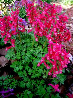 Corydalis solida 'George P. Baker'    Spring ephemerals don't take up any room as they can be interplanted with hostas, ferns, and other perennials that come up later and fill in the space.  They are also great for the backs of beds that are empty and visible before other plants emerge.
