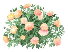 Peony Kopper Kettle. Watercolour on paper by Scott Jessop. Created for Storey Publishings' Design Your Garden Toolkit. A step by step guide with reusable plant stickers.