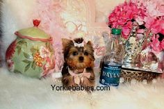 Some of the Tiniest, Most Beautiful Teacup Yorkie Puppies in the World! Teacup Yorkie and Small Toy Yorkies for Sale. See the Best! Micro Teacup Yorkie, Teacup Yorkie For Sale, Teacup Chihuahua Puppies, Yorkies For Sale, Yorkie Puppy For Sale, Super Cute Puppies, Cute Dogs And Puppies, Baby Yorkie, Miniature Puppies