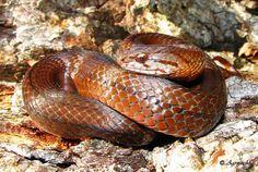 Las 3 serpientes venenosas de Chile – Especial