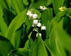 Mughetto Convallaria majalis, fiori
