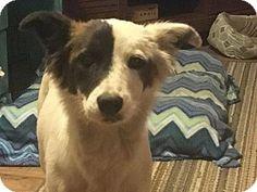 Aurora, CO - Australian Shepherd Mix. Meet Ellie Mae, a dog for adoption. http://www.adoptapet.com/pet/17258931-aurora-colorado-australian-shepherd-mix