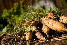 Cómo cultivar zanahorias en huertos urbanos