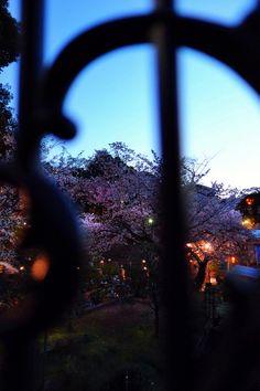 横浜山手夜桜 SAKURA, Yamate, Yokohama, Japan.