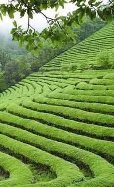 Tea fields of Venezuela Places Around The World, Around The Worlds, Tea Plant, Tea Culture, Types Of Tea, Pure Leaf Tea, Oolong Tea, Window View, Plantation