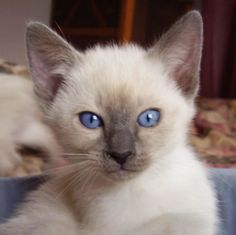Siamese kitty
