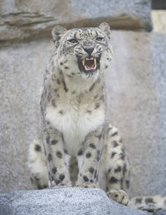 Snow leopards can jump & pounce on prey that's as far as 6x their body length. Rawr!