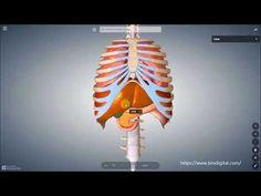 Diaphragma-Zwerchfell - YouTube Youtube, Anatomy, Pain Management, Smoking, Youtubers, Youtube Movies