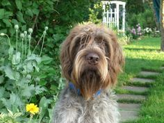 Bentley, my Wire Haired Pointing Griffon