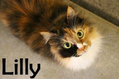 Lilly is an adoptable Calico