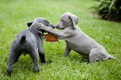 puppies | Weimaraner puppies play with each other in the backyard of Margaret ...