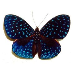 Species: Hamadryas velutina Common Name: Velutina Cracker Butterfly Native Origin: Costa Rica Frame Size: square Frame Color: Black Wood Frame: Finest Handmade Museum Quality Sealed Shadowbox Di… Butterfly Gifts, Butterfly Frame, Blue Butterfly, Insects Names, Van Gogh Paintings, Old World Style, Picture Hangers, Star Sky, Metallic Blue