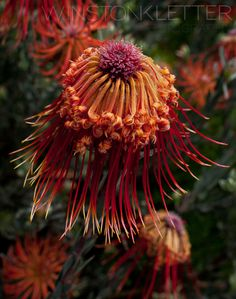 Protea, Cape Town, South Africa by Winston Kletter, via 500px