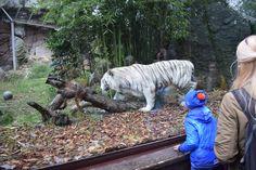 White tiger Lion Sculpture, Statue, Zoology, Italia, Rome, Sculptures, Sculpture
